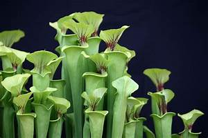 Celiac Disease: Enzymes From Carnivorous Pitcher Plants ...