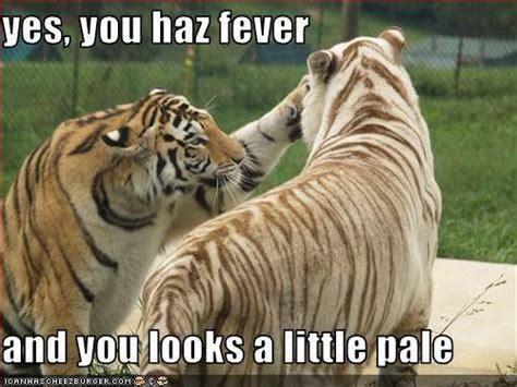 Tiger Meme - tiger fever tiger meme work pinterest tigers meme and memes