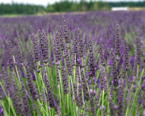 lavender plants sequim lavender plants lavandula x intermedia lavandin victor s lavender victor s lavender