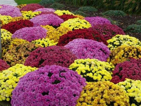 can fall mums survive frost sedum spectabile laidback gardener
