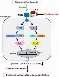 Diagram Of The Inhibition Of Tlr4 Activation By Gambogi