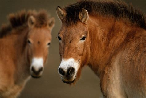 horse oldest dna horses ancient sequenced genome equine bridlepath evolution science answers przewalski adapt