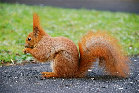 the news for squirrels squirrel facts the eurasian red