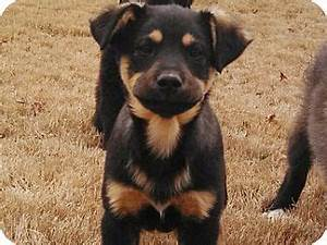 German Shepherd Rottweiler Mix – breed info ...