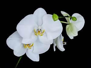 White Orchid 12 Free Hd Wallpaper - HdFlowerWallpaper.com