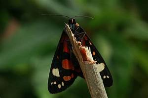 About moths – Scarlet tiger moth | Looduskalender