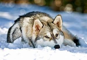 Siberian, Husky, Dog, Laying, In, Snow, Stock, Image