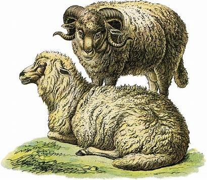 Sheep Realistic Illustration Farm Fairy Graphics Animal