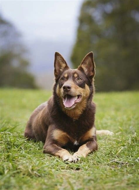 lapponian herder herding dogs dogs dog breeds