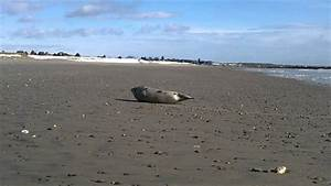 Seal On Wells Beach  Maine