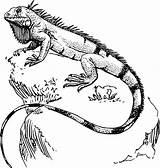 Lizard Coloring sketch template