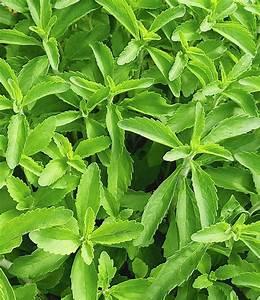Pflanze Mit Z : stevia pflanze kaufen anbauen und verwenden ~ Lizthompson.info Haus und Dekorationen