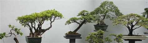 Bonsai Per Interni I Bonsai Da Interno E La Guida Per Prendersene Cura Ibonsai