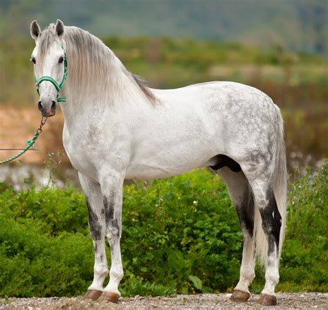 andalusian horse horses lusitano spanish pre breed pure pura raza stallion caballo spain andalucian there andaluz recent times changed been