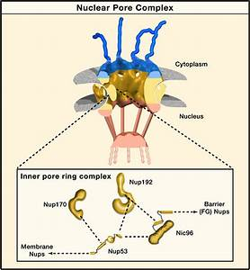 Nuclear Pore Structure: Warming up the Core: Cell