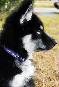 My Husky Wolf hybrid, Logan at 4 months. | Animals | Pinterest