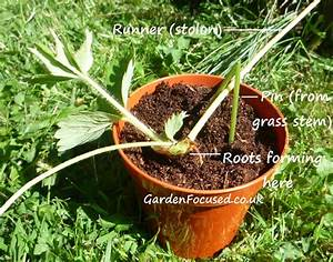 How to Propagate Strawberry Plants from Runners
