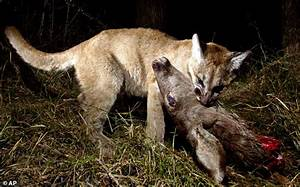 Camera catches mountain lion kittens feeding   Daily Mail ...
