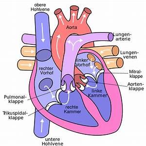 File Diagram Of The Human Heart  Cropped  De V2 Svg