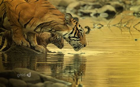 Baby Animals Hd Wallpapers - tiger wallpapers big cats baby animals water animals
