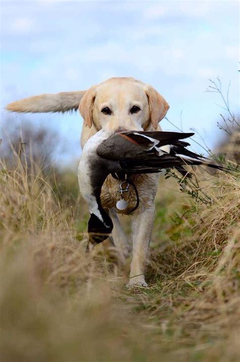 yellow lab retrieving  duck dog breeds medium dogs