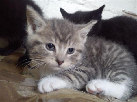 kitten for sale cross bengal adorable kitten for sale chester cheshire
