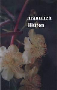 Sanddorn Männlich Weiblich Unterschied : kiwi sorte hayward und atlas same samen anzucht ~ Lizthompson.info Haus und Dekorationen