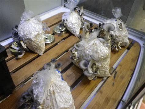 comment cuisiner des pleurotes cultiver des pleurotes à la maison chignons comestibles