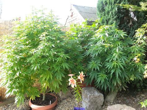 wie bew 228 ssert cannabis pflanzen