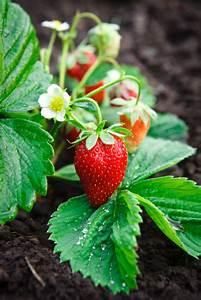 Erdbeeren Pflanzen Die Wichtigsten Tipps : wann erdbeeren pflanzen simple auf balkon pflanzen with ~ Lizthompson.info Haus und Dekorationen