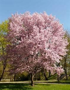 Ornamental, Cherry, Tree