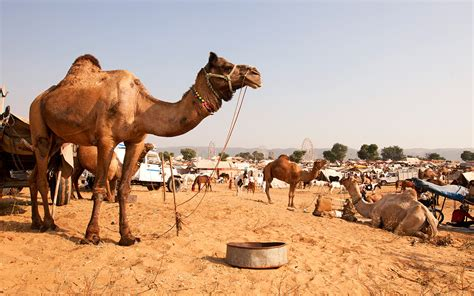 Fascinating, Strange, And Unique Facts About Camels