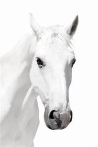 White Horse Head on White Background - 40 x 60 - DECOR