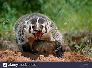 North American badger (Taxidea taxus), threatening gesture ...