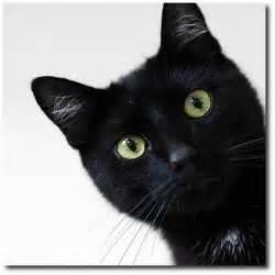 black cat pictures suspicious black cat