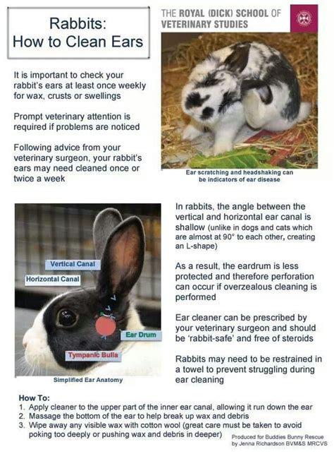 how to clean a s ears how to clean rabbit s ears rabbit pinterest
