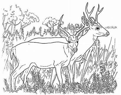 Coloring Deer Mule North Pages America Couple