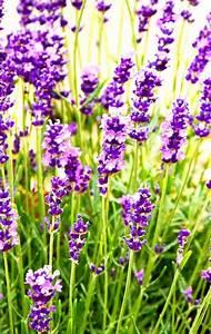 Plant De Lavande : lavande en pot comment la planter et en prendre soin ~ Nature-et-papiers.com Idées de Décoration