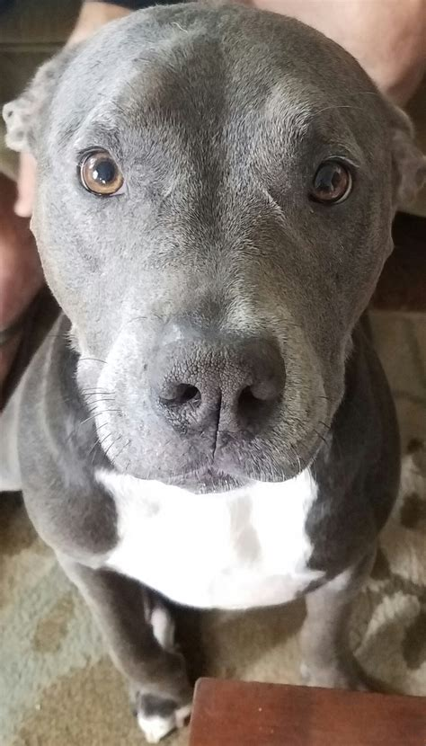 Percy, the Perfect Pitbull - Doggos N' Puppers - rare ...