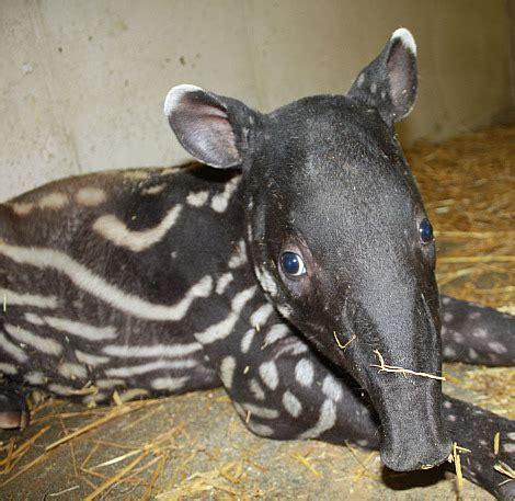 baby tapir      leader zooborns