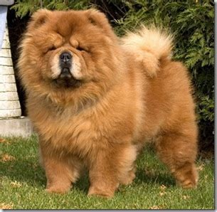 chow chow breed profile dogs information