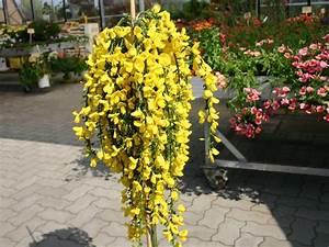 Ginster Richtig Schneiden : edelginster 39 golden tears 39 cytisus scoparius 39 golden ~ Lizthompson.info Haus und Dekorationen