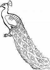 Peacock Coloring Pages Drawing African Peafowl Line Congo Outline Printable Cartoon Simple Clipart Lovely Adults Colouring Painting Peacocks Cliparts Realistic sketch template