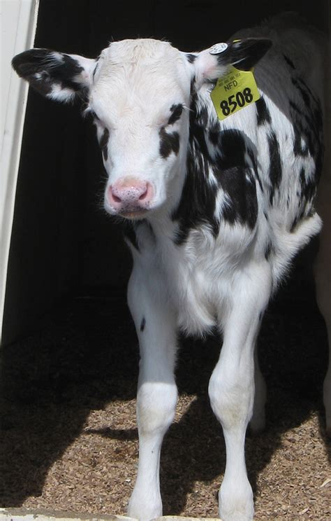 Colostrum Health Benefits For Dairy Calves Not Affected By