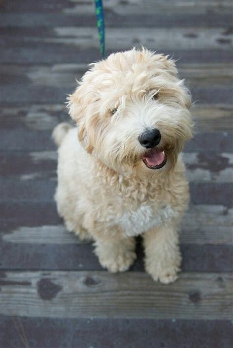Non Shed Dogs Medium by Whoodle Wheaten Terrier Poodle Mix Info Temperament
