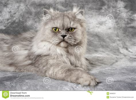 chat persan gris chat persan gris image stock image du pedigree pelucheux 9696351