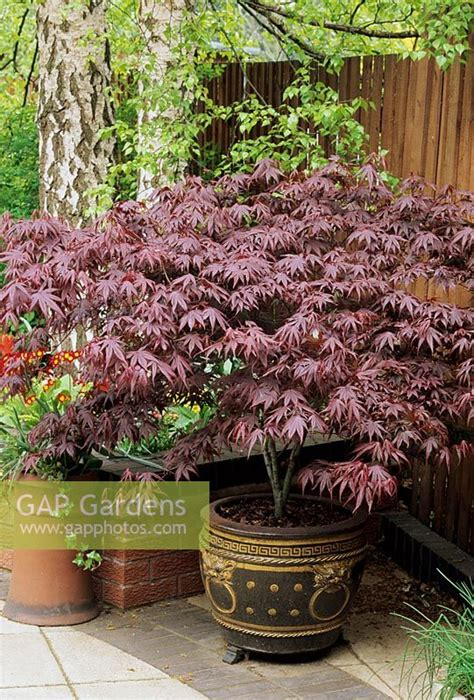 gap gardens acer palmatum bloodgood growing in an