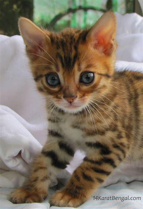 Kittens For Sale by 25 Best Ideas About Bengal Kittens On Bengal