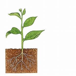 Plantes à Suspendre : encyclop die larousse en ligne tige latin tibia fl te ~ Premium-room.com Idées de Décoration