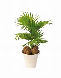Plante D Extérieur En Pot : petit palmier en pot jolie jardiniere ~ Teatrodelosmanantiales.com Idées de Décoration